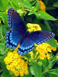 blue buttergfly .jpeg